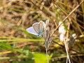 Polyommatus icarus D-20150617.jpg