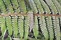 Polystichum bonseyi (14523434758).jpg