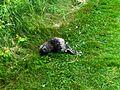 Porcupine at Forillon.jpg