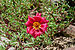 Portulaca grandiflora, Burdwan, 31032014 (1).jpg