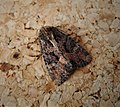 Possibly Lesser Common Rustic. Mesapamea didyma (31859232138).jpg