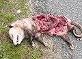 Possum? (3763684317).jpg