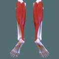Posterior compartment of leg - gastrocnemius.png