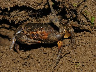 Freshwater crab - Potamon ibericum (Potamidae) in Georgia