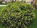 Potentilla fruticosa NT5.jpg