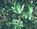 Potentilla thuringiaca eF.jpg