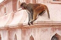 Potroit of Rhesus Macaque at Swayambhunath Stupa 01.jpg