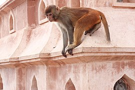 Potroit of Rhesus Macaque at Swayambhunath Stupa 01.jpg