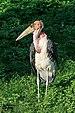 Prague 07-2016 Zoo img08 Leptoptilos crumeniferus.jpg