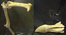Fragmentary leg and skull bones of a dodo