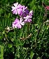Primula farinosa ENBLA02.JPG