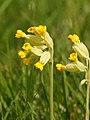 Primula veris (flowers).jpg