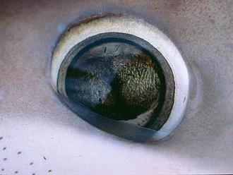 Blue shark - Image: Prionace glauca eye