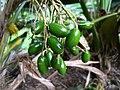 Pritchardia martii (5250171634).jpg