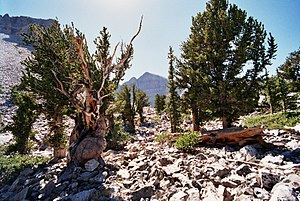 29th century BC - The grove in which the Prometheus Tree grew, with the Wheeler Peak headwall in the distance.