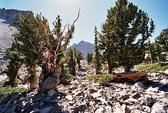 Great Basin National Park - Bristlecone pine and Wheeler Peak