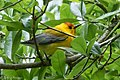 Prothonotary Warbler Sabine Woods TX 2018-04-05 12-43-40 (40756886994).jpg