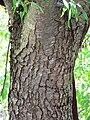 Prunus brachybotrya 3.jpg