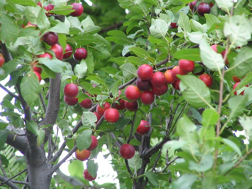 Prunus cerasifera branch fruits bgiu
