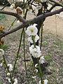 Prunus mume 'Pendula'2.jpg
