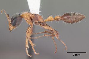 Pseudomyrmex - Pseudomyrmex gracilis (elongate twig ant) worker