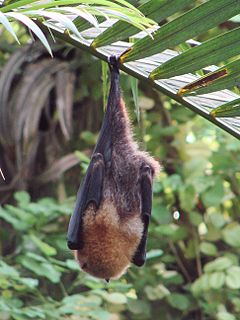 Rodrigues flying fox Large species of bat native to the island of Rodrigues