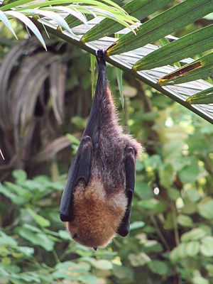 Rodrigues flying fox - At Zurich Zoo.