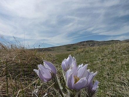 cd13ec99635e Pasque Flower - Pulsatilla patens