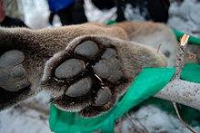 Black Cat Cougar Cutter Forum