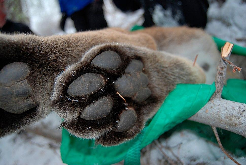 Puma concolor paw