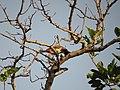 Pycnonotus jocosus (15108307647).jpg