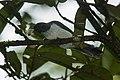 Pygmy Cuckoo-Shrike - Sulawesi MG 5481 (16840361758).jpg