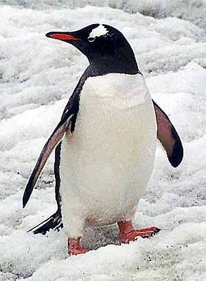 Polar regions of Earth - South polar region penguin