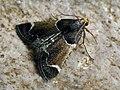 Pyralis farinalis - Meal moth - Огнёвка мучная (41181390302).jpg