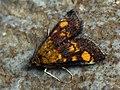 Pyrausta aurata - Mint moth - Огнёвка золотистая (43842536682).jpg