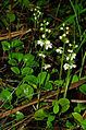 Pyrola rotundifolia - group 01.jpg