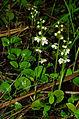 Pyrola rotundifolia - group 01.jpg