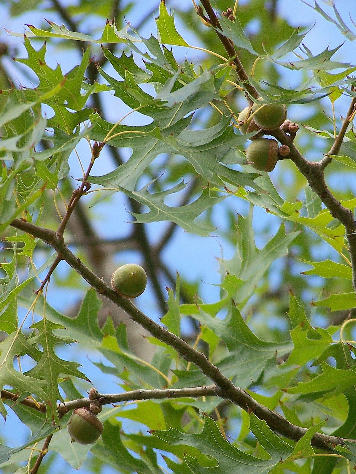 Q.palustris-frutos-1.JPG