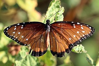 Queen (butterfly) species of insect