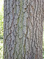 Quercus cerris-tronc-Jardin des plantes.JPG