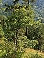 Quercus macranthera 3.jpg