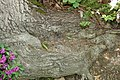 Quercus prinus 14zz.jpg