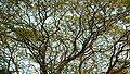Rain tree (356958767).jpg