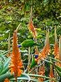 Rainbow lorikeet and Aloe sp Brisbane Botanic Gardens Mt Coot-tha P1030131.jpg