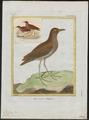 Rallina fusca - 1700-1880 - Print - Iconographia Zoologica - Special Collections University of Amsterdam - UBA01 IZ17500149.tif