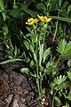 Ranunculus eschscholtzii 7500.JPG