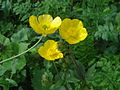 Ranunculus macrophyllus.JPG