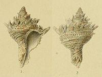 Rapana Lischkeana Dkr. (Dunker, 1882, Pl. 1, Figs. 1-2)