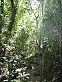 Rapanea trees - Newlands Forest Cape Town.jpg