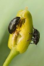Rapeseed pollen beetles (31906470336).jpg